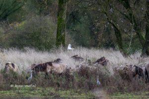 Koereiger & Konikpaarden Oostvaardersveld