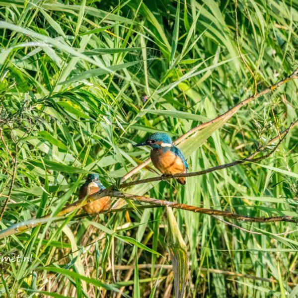 Ijsvogel madness in het Oostvaardersveld – Leven-Met…