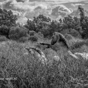 Konikpaarden Oostvaardersveld